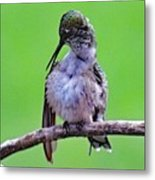 Combing His Feathers - Ruby-throated Hummingbird Metal Print