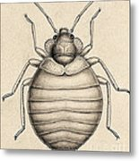 Common Bedbug, Cimex Lectularius Metal Print