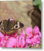 Common Buckeye Butterfly Metal Print