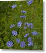 Common Chicory Wildflowers #1 Metal Print