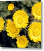 Common Coltsfoot  Metal Print