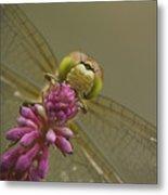Common Darter Dragonfly Metal Print