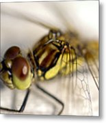 Common Darter  Dragonfly Compound Eye And Synthorax Metal Print