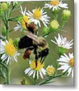 Common Eastern Bumblebee  Metal Print