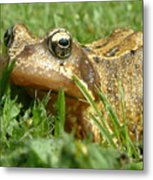 Common Frog Rana Temporaria Metal Print