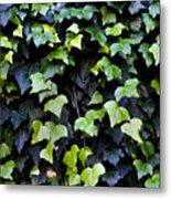 Common Ivy Metal Print