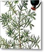 common juniper, Juniperus communis Metal Print