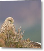 Common Kestrel Falco Tinnuculus Perched On Rock Metal Print