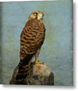 Common Kestrel Metal Print