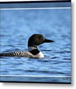 Common Loon, Framed Metal Print