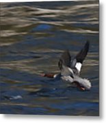 Common Merganser Duck Metal Print