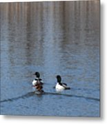 Common Merganser Metal Print