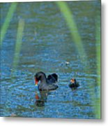 Common Moorhen And Her Baby Metal Print