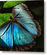 Common Morpho Blue Butterfly Metal Print