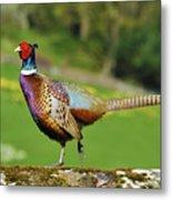 Common Pheasant. Metal Print