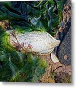 Common Piddock - Pholas Dactylus Metal Print