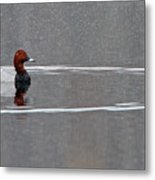 Common Pochard Metal Print