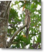 Common Potoo Costa Rica Metal Print