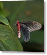 Common Rose Butterfly Metal Print