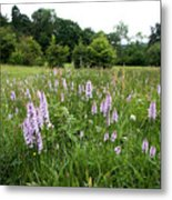 Common Spotted Orchids Metal Print
