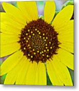 Common Sunflower In Northwest North Dakota Metal Print