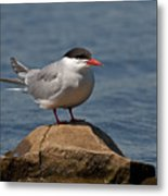 Common Tern... Metal Print by Nina Stavlund
