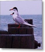 Common Tern Sterna Hirundo Metal Print