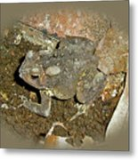 Common Toad - Bufo Americanus Metal Print