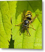Common Wasp Metal Print