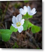 Common Wood Sorrel Metal Print