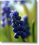 Compact Grape-hyacinth 2 Metal Print