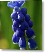 Compact Grape-hyacinth Metal Print