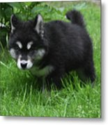 Concern Expressed On The Face Of An Alusky Pup Metal Print