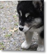 Concern On The Face Of An Alusky Puppy Metal Print