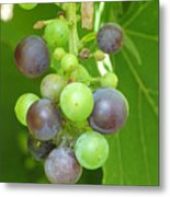 Concord Grapes On The Vine Metal Print