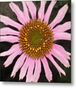 Coneflower In The Pink Metal Print