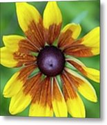Coneflower - New England Wild Flower Metal Print