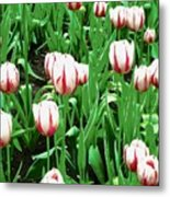 Confederation Tulips Metal Print