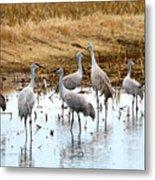 Congregating Sandhill Cranes Metal Print