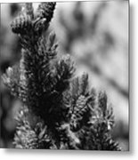 Conifer Metal Print