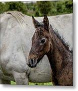 Connemara Foal Metal Print