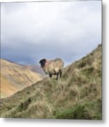 Connemara Sheep Metal Print
