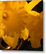 Contemporary Flower Artwork 10 Daffodil Flowers Evening Glow Metal Print