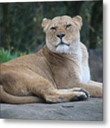 Contented Lioness Metal Print
