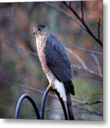 Coopers Hawk In Autumn Metal Print