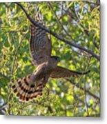 Cooper's Hawk In Early Morning Light Metal Print