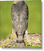 Cooper's Hawk In The Backyard Metal Print