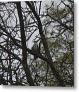 Cooper's Hawk Perched In Tree Metal Print