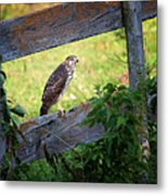 Coopers Hawk Perched On A Weathered Fence Metal Print