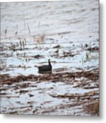 Coot In The Weeds Metal Print